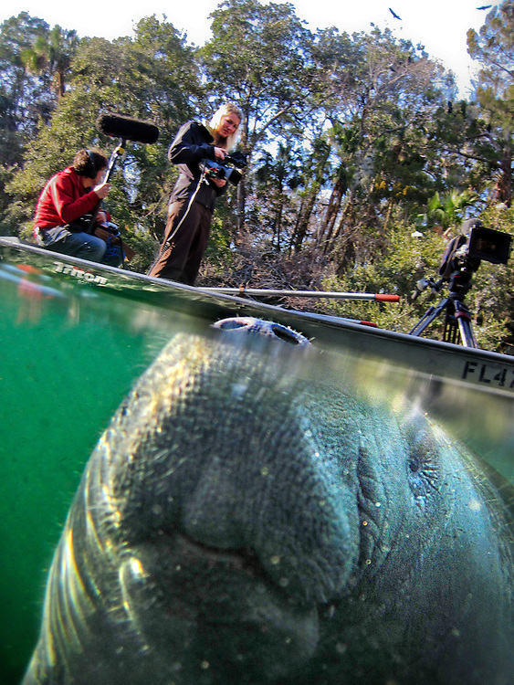 An endangered West Indian manatee rises for a breath as a film crew floats by in the Chassahowitzka National Wildlife Refuge. Many of the gentle giants bear scars from encounters with boats. This manatee approached the underwater camera, please do approach or chase any manatees in the wild.