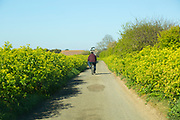 Man cycling country lane lined with Alexanders plant, Smyrnium olusatrum, Bawdsey, Suffolk, England, UK