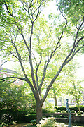 college green, Mapp Athens, summer, Tree Tour, Thornless Honey Locust