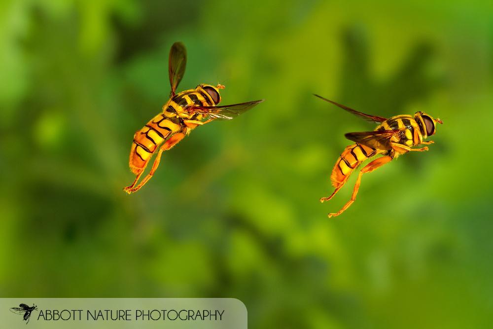 Yellowjacket Hover Fly (Milesia virginiensis) flying<br /> United States: Alabama: Tuscaloosa Co.<br /> Tulip Tree Springs off Echola Rd.; Elrod<br /> 3-Jun-2016<br /> J.C. Abbott #2825 &amp; K.K. Abbott<br /> composite image