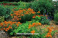 63821-05607 Butterfly Milkweed (Asclepias tuberosa), Red Bee Balm (Monarda didyma), Yellow Daylily, Blue Veronica (Veronica sp.), Purple Coneflowers (Echinacea purpurea) in garden in Marion County IL
