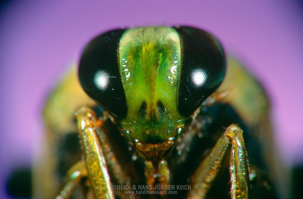 DEU, Deutschland: Porträt von einem Rückenschwimmer (Notonecta glauca), Nahaufnahme | DEU, Germany: Back-swimmer (Notonecta glauca), insect portrait, close-up |