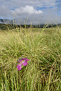 Mariposa lily grows a tall flower stem to be seen in the grasslands of the Valle Grande, © 2017 David A. Ponton [Prints to 8x12, 16x24, 24x36 or 40x60 in. with no cropping]