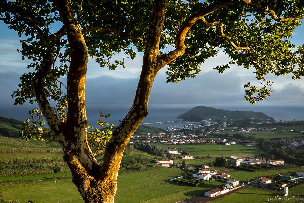 Platanus x hispanica tree over Horta. Faial, Azores, Portugal