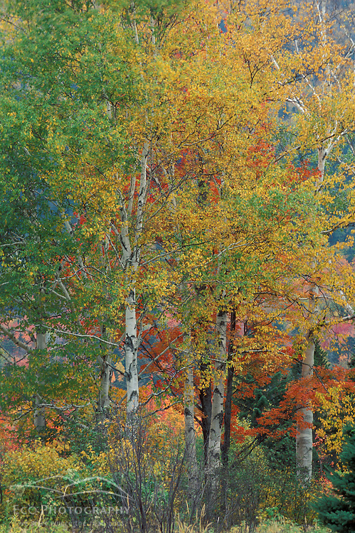 Russell Pond Trail, Baxter S.P., ME. Foliage. Trees. The colors of fall. Includes Paper Birch,  Betula papyrifera.