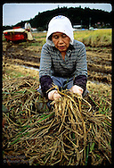 Woman in scarf examines rotten rice flattened by typhoon on her family farm near Utsunomiya. Japan
