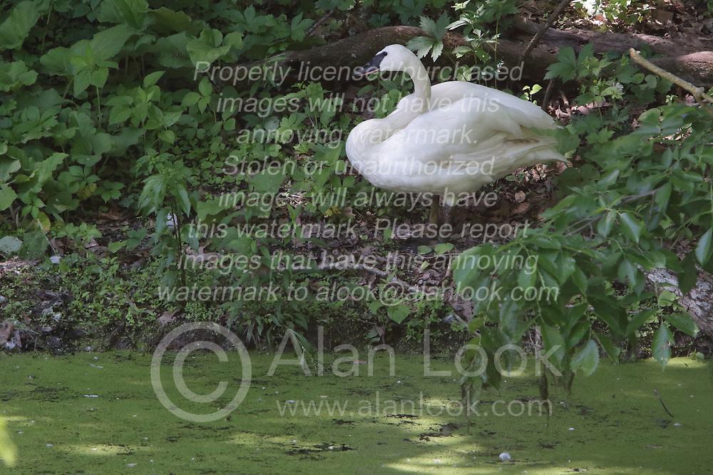 Trumpeter Swan on or near a small pond covered in algae. <br /> <br /> Cygnus buccinator