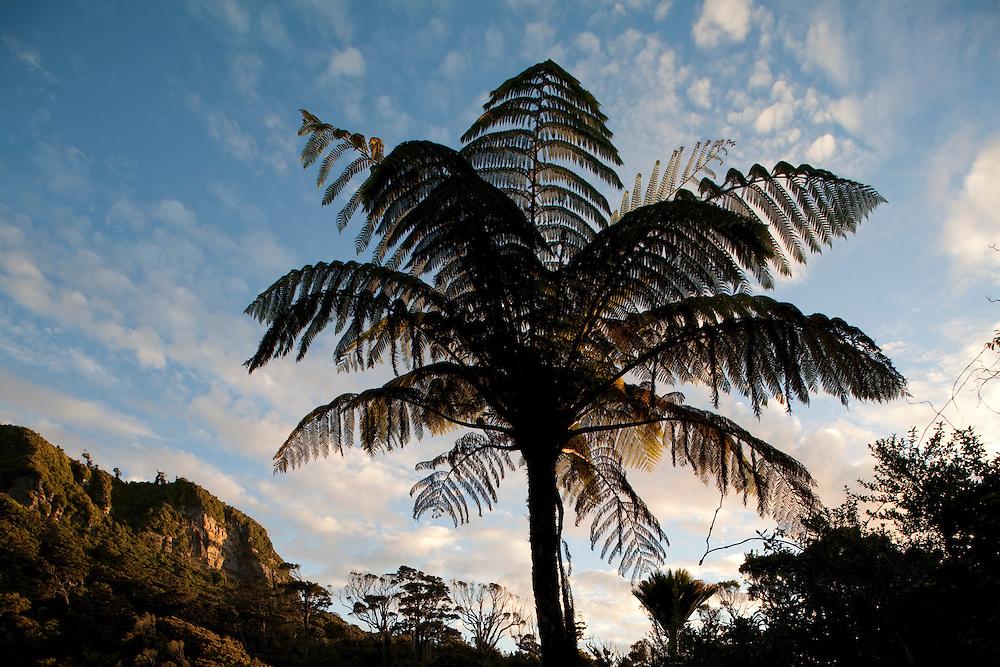 New Zealand, South Island, Punakaiki, Setting sun lights rainforest and massive tree ferns on steep cliffs lining coastal road in Paparoa National Park on summer evening