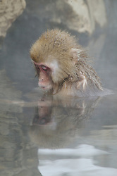 A baby snow monkey looks at its reflection in a hot spring during winter in Japan.