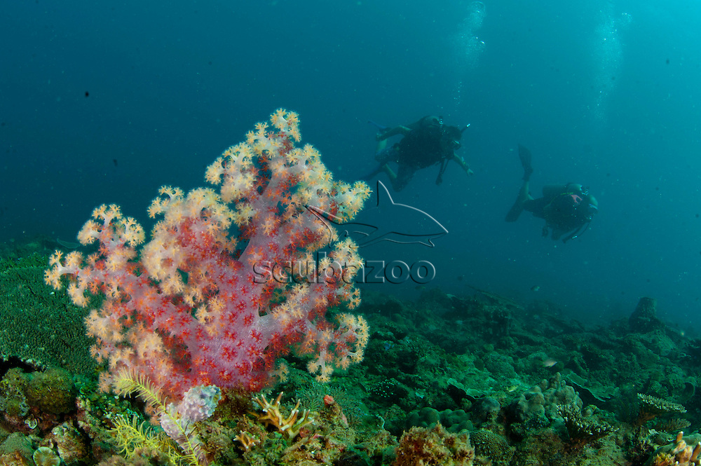 Focus on a Tree coral, Dendronephthya Sp, as two divers swim by exploring the reef, Tunku Abdul Rahman Marine Park  Sabah, Malaysia, Borneo.