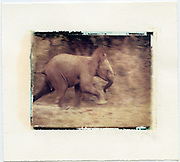 Baby elephant runs to the safety of her mother,  Amboseli, Kenya<br />