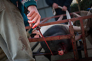A bleeding pig lies dead in traditional way pig slaughtering. Legasa (Basque Country). January 7, 2017. The slaughter traditionally takes place in the autumn and early winter and the work often is done in the open. (Gari Garaialde / Bostok Photo)