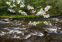 A flowering dogwood tree hangs out across the Little River in Great Smoky Mountains National Park, TN.