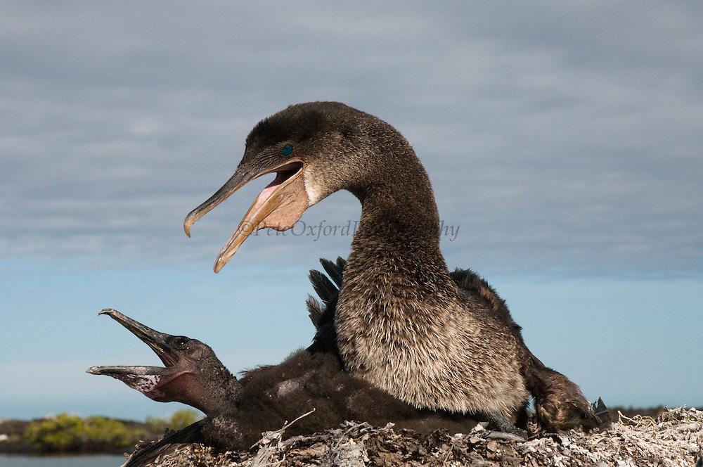 Flightless Cormorant (Phalacrocorax harrisi) on nest with chick, Isabella Island, Galapagos Islands, Ecuador