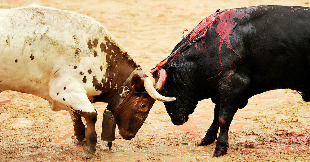 "Uceda Leal fighting bull ""Guindoso"" (R) fights with a leading ox that tries to remove the fighting bull from the bull-ring after Spanish matador Jose Miguel Perez ""Joselillo"" received three warnings for failing to kill it during the sixth corrida of the San Fermin festivities, on July 12, 2008, in Pamplona, north of Spain."