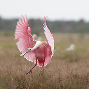 Roseate Spoonbill (Platalea ajaja) in Merritt Island National Wildlife Refuge, Florida. Photo by William Drumm, 2013.