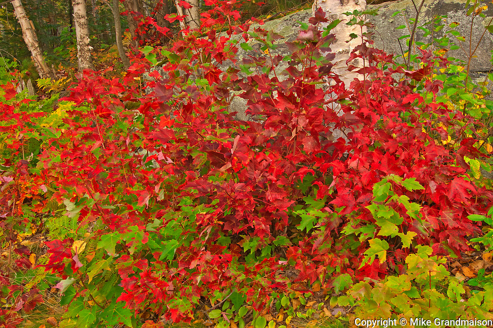 Red maple trees in autumn colors with white birch trees in background at George Lake<br />Killarney Provincial Park<br />Ontario<br />Canada