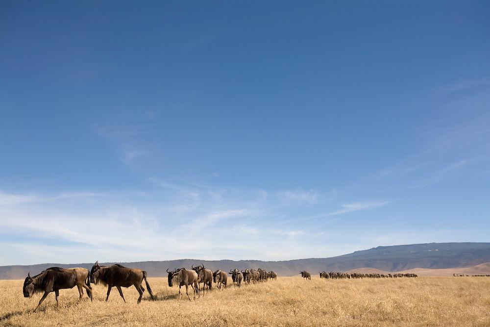 Africa, Tanzania, Ngorongoro Conservation Area, Wildebeest (Connochaetes taurinus) in Ngorongoro Crater