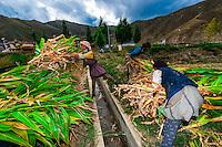 Women harvesting corn, Qonggyai, Lhoka (Shannan) Prefecture, Tibet (Xizang), China