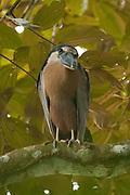 Questioning look from a Boat-Billed Night Heron in Costa Rica's Carara National Park.