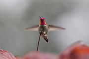 A male Anna's hummingbird (Calypte anna) lands on a maple tree on a rainy day. Males in the Calypte genus of hummingbirds are quite distinctive with iridescent crowns. All hummingbirds, however, have iridescent plumage, which reflects certain wavelengths of light and reflects them directly in front of the bird. The bright flashes of color are visible only when the bird is facing you. Several features of the feathers result in the iridescence. Barbules, which are flat in most birds, are angled to form a V shape in hummingbirds. Also, the surface of the barbules is covered with microscopic discs containing tiny air bubbles that amplify certain colors of light and cancel out others..