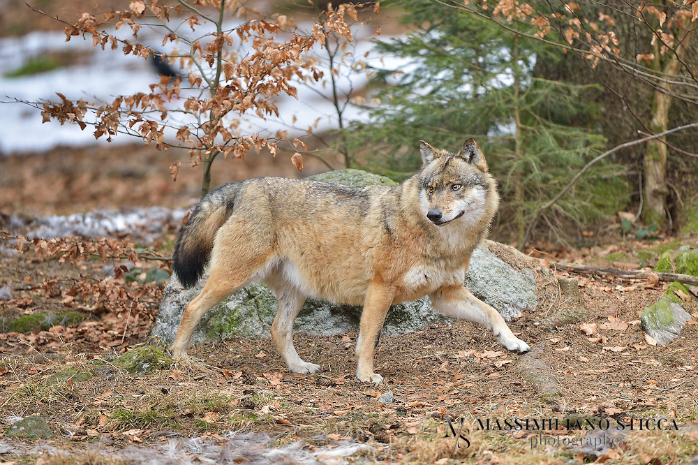 The gray wolf is the second most specialized member of the genus Canis, after the Ethiopian wolf, as demonstrated by its morphological adaptations to hunting large prey, its more gregarious nature, and its highly advanced expressive behavior.