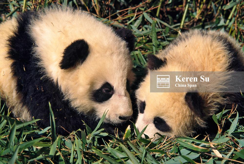Two panda cubs in the bamboo bush, Wolong Panda Reserve, Sichuan, China