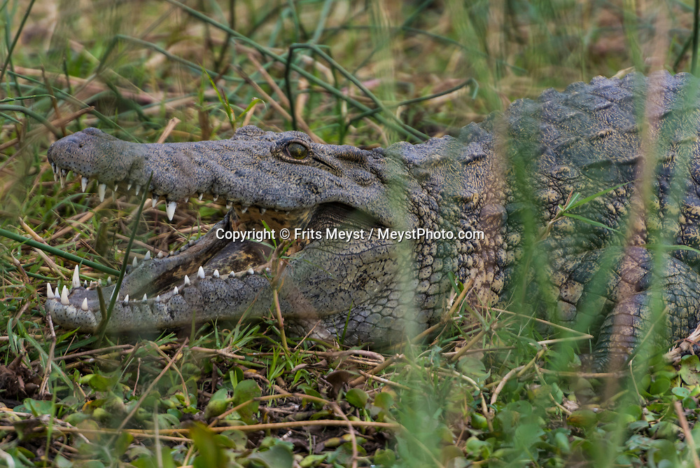 Malawi, July 2017. Crocodiles rule the river. FRom Mvuu Lodge one can explore Liwonde National Park through game drives and boat safari. Malawi is known for its long rift valley and the third largest lake in Africa: Lake Malawi. Malawi is populated with friendly welcoming people, who gave it the name: the warm heart of Africa. In the south the lake make way for a landscape of valleys surrounded by spectacular mountain ranges. Photo by Frits Meyst / MeystPhoto.com