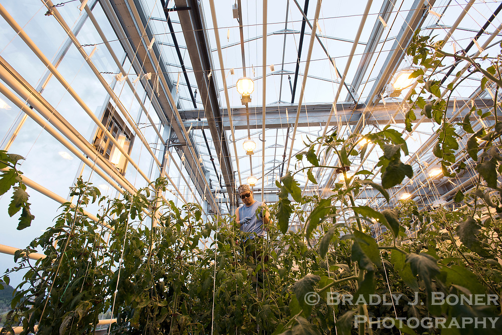 Kai Hoffman hangs tomato plants Monday at the Vertical Harvest greenhouse in downtown Jackson. After one year in operation, operators said the greenhouse is about half-way to their goal of producing 100,000 pounds of produce annually.