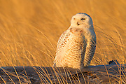 A snowy owl (Nyctea scandiaca) watches the sun set over the Pacific Ocean from its perch on Damon Point in Ocean Shores, Washington. Snowy owls, like other owls, hunt at night and rest during the day to conserve energy. Snowy owls, which spend the summer in the northern circumpolar region north of 60 degrees latitude, have a typical winter range that includes Alaska, Canada and northern Eurasia. Every several years, for reasons still unexplained, the snowy owls migrate much farther south in an event known as an irruption. During one irruption, a snowy owl was found as far south as the Caribbean. During the 2011-2012 irruption, Ocean Shores on the Washington coast was the winter home for an especially large number of snowy owls. Snowy owls tend to prefer coastal and plains areas, which most resemble the open tundra that serves as their typical home.
