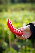 Female farmer holding fresh red pepper.