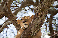 A young lion rests in a tree in the Serengeti National Park. The park is a UNESCO World Heritage Site in Tanzania. http://www.gettyimages.com/detail/photo/lion-in-tree-tanzania-high-res-stock-photography/96621908