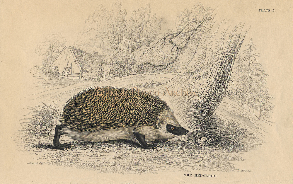 Hedgehog (Erinaceus europeas), the Common Spiny Hedgehog, an insectivorous mammal of the Old World.From 'British Quadrupeds', W MacGillivray, (Edinburgh, 1828), one of the volumes in William Jardine's Naturalist's Library series. Hand-coloured engraving.