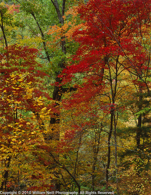 Red Maples and forest, autumn, Great Smoky Mountains National Park, Tennessee
