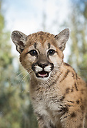 Mountain Lions - SCWR
