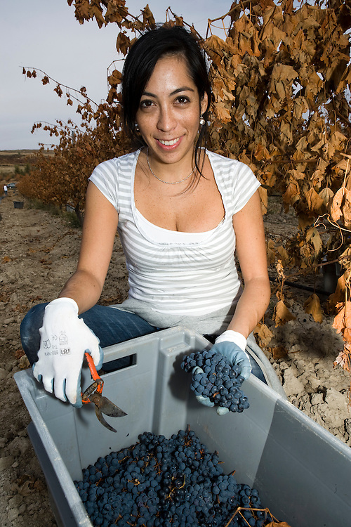 Harvesting grapes in Ribera del Duero (Spain)<br /> D&iacute;a de la vendimia en los vi&ntilde;edos de Ribera del Duero (Espa&ntilde;a)