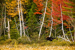 A young bull moose in a marsh on the shoreline of Seboeis Lake near Millinocket, Maine.  Fall.