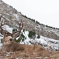 muledeer buck snow rocky mountains background