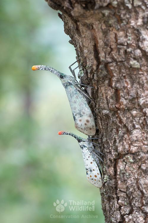 White Wing Lanternfly Planthopper Pyrops astarte.