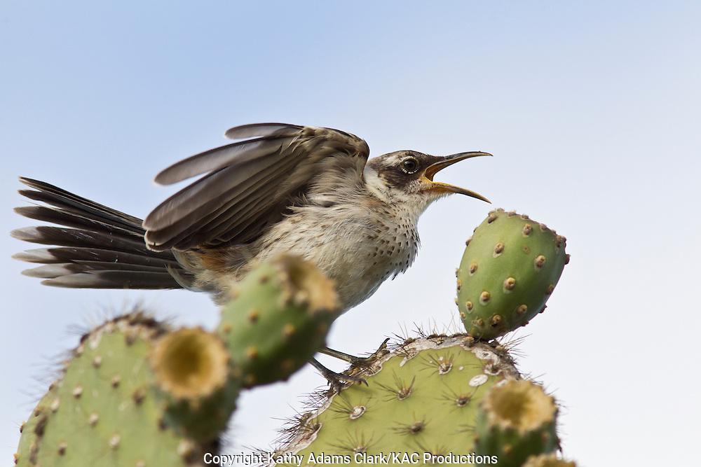 Galapagos mockingbird, Nesomimus, Santa Fe Island, Galapagos, Ecuador.