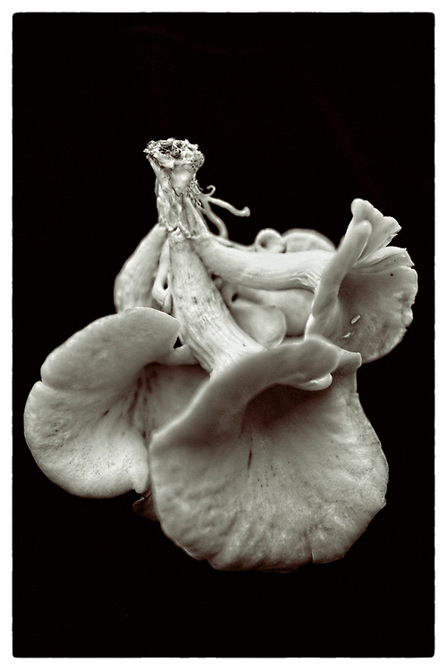 "Pleurotus cornucopiae #VII from the series: ""Pleurotus cornucopiae"" (2014/2017)."