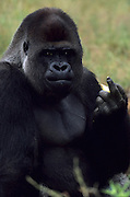 A Western Lowland Gorilla (Gorilla gorilla gorilla), gestures towards visitors at the Apenheul Primate Park in Apeldoorn, Netherlands, July 1, 2001.