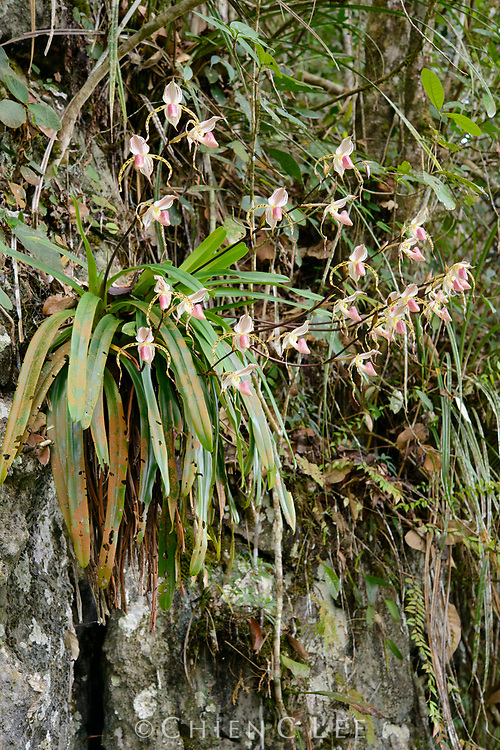 Perched high on a limestone cliff, a rare slipper orchid (Paphiopedilum stonei) puts on a showy display of multiple blooms. This endangered species occurs only in a few localities in western Borneo where its population has been heavily depleted by wild collecting. Sarawak, Malaysia.