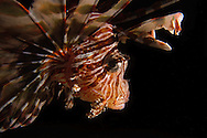 Pterois, commonly known as lionfish, is a genus of venomous marine fish found mostly in the Indo-Pacific. Pterois is characterized by red, white and black bands, showy pectoral fins and venomous spiky fin rays. Pterois are classified into nine different species, but Pterois radiata, Pterois volitans and Pterois miles are the most commonly studied. Pterois are popular aquarium fish and are readily utilized in the culinary world