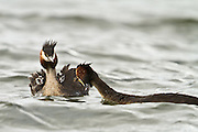 Two Australasian Crested Grebe chicks anticipate as a parent leans in to feed a freshly caught fish, Lake Hayes, New Zealand.