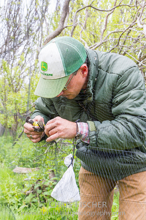 Researcher Robby Lambert gently retrieves a songbird suspended in a mist net as part of a bird banding operation on Stratton Island, Maine. Mist nets are a safe and effective method for capturing birds. The net is virtually invisible against the vegetation.