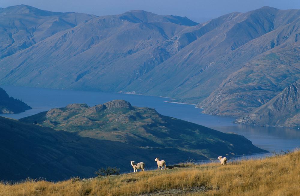 Sheep at Lake Wanaka, South Island, New Zealand