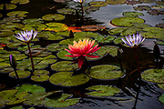 Orange water lily in a pond. Photographed in Tel Aviv, Israel in April