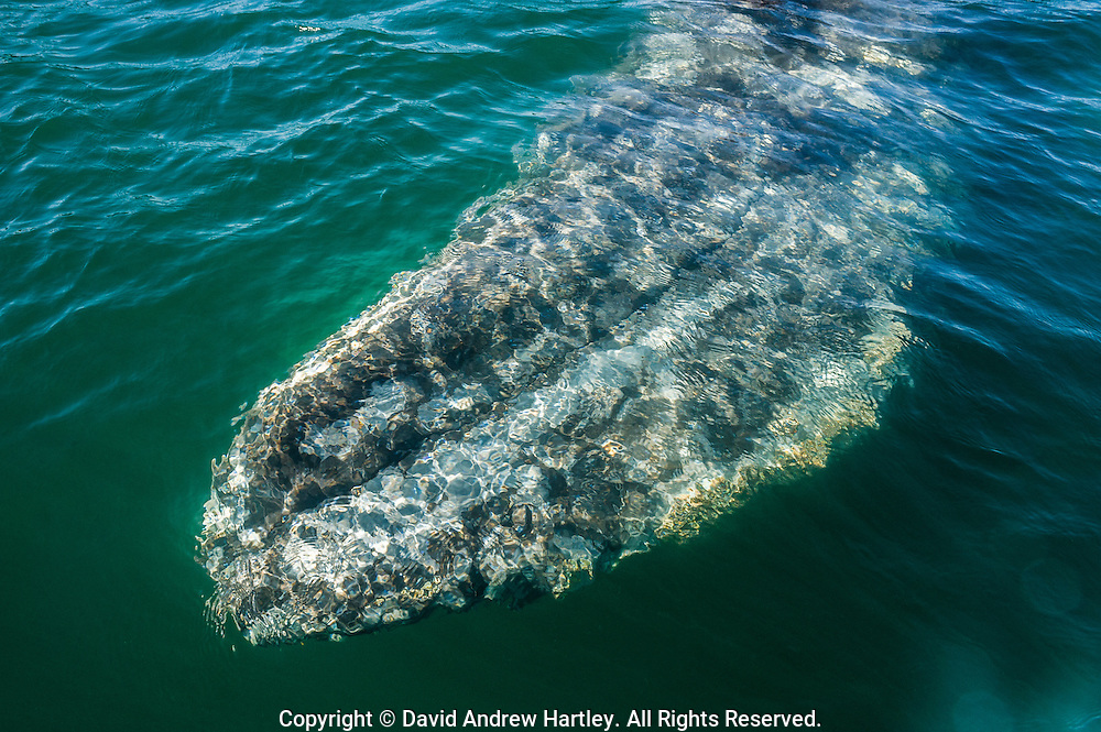 Surfacing California Gray Whale (Eschrichtius robustus), Scammon's Lagoon, Guerrero Negro, Baja California Sur, Mexico