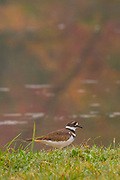 A killdeer (Charadrius vociferus) walks around the edge of Kendall Lake in the Cuyahoga Valley National Park, Ohio.
